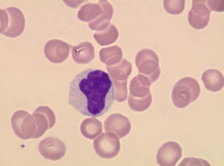 Leukocytes